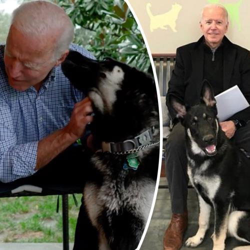 Joe Biden's Dog 'Major' Set To Make History As The First Rescue Dog To Live In The White House