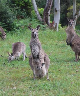 Kangaroos and wombat deliberately run down in Royalla