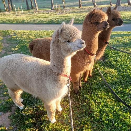 Alpaca Therapy program comes to an end in the Capital