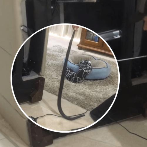 Snake takes a summer siesta inside Tuggeranong home