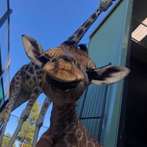 National Zoo farewells one of its tallest residents