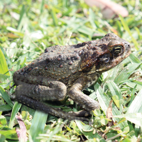 Queensland cane toad found in the ACT