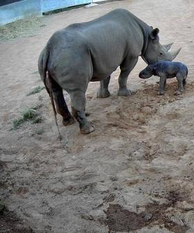 Rare Black Rhino Calf Born At Dubbo Zoo