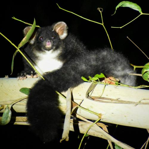 Canberrans called on to help protect precious possums