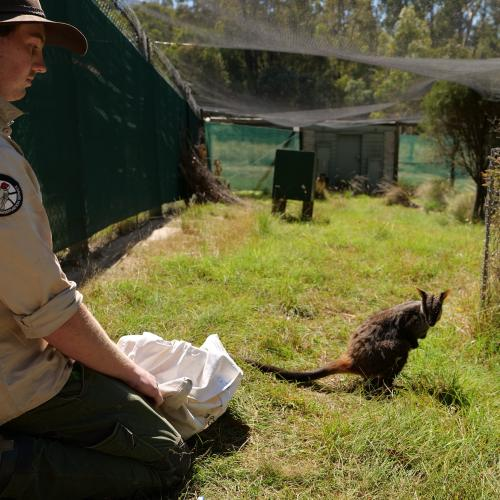 These Rock-wallabies are out of quarantine and looking for love