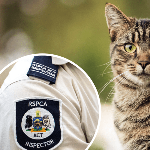 Cat suffers serious injuries after being shot in Kambah