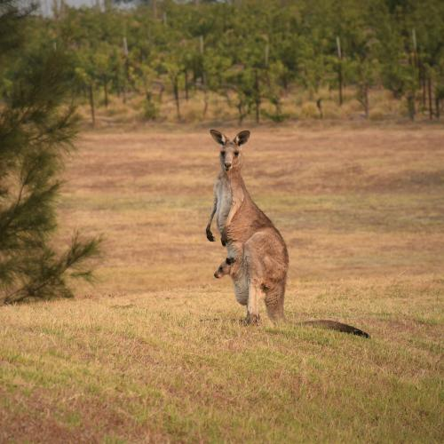 Canberra's Kangaroo cull returns