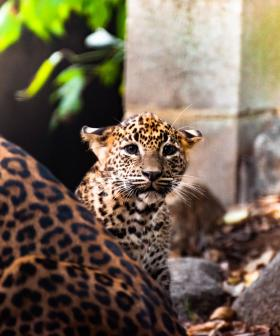 Leopard cubs spotted in Canberra